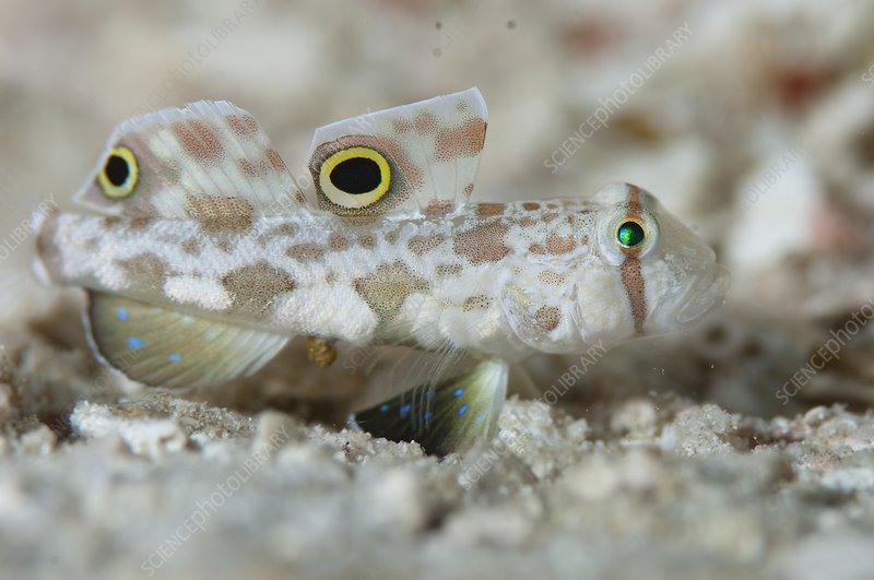 Goby camouflaged on sand