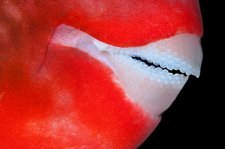 Mouth of parrotfish