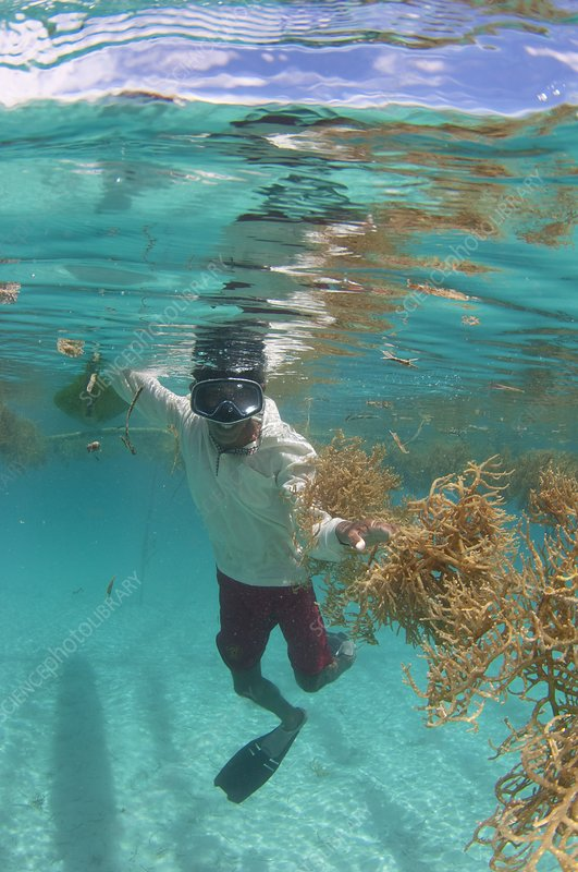 Seaweed farming in Indonesia