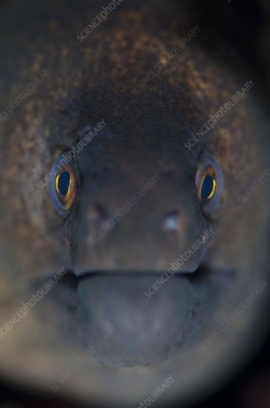 Portrait of a giant moray eel