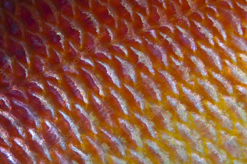 Detail of fish scales