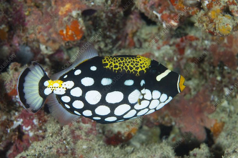A clown triggerfish in the Maldives
