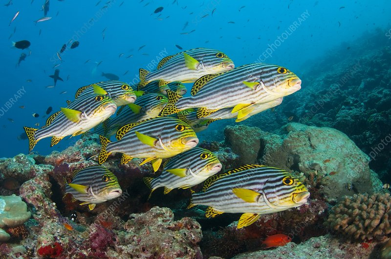 School of sweetlips in the Maldives