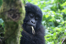 Juvenile Mountain Gorillas