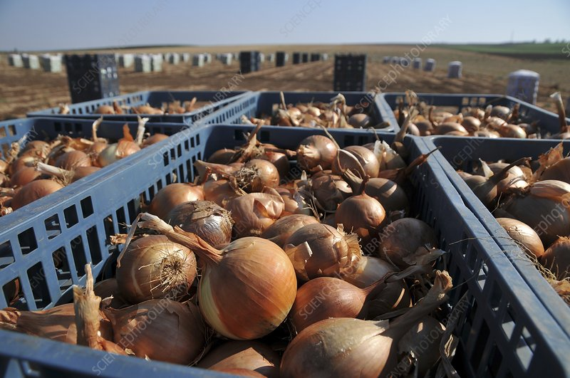 Onion Field harvest