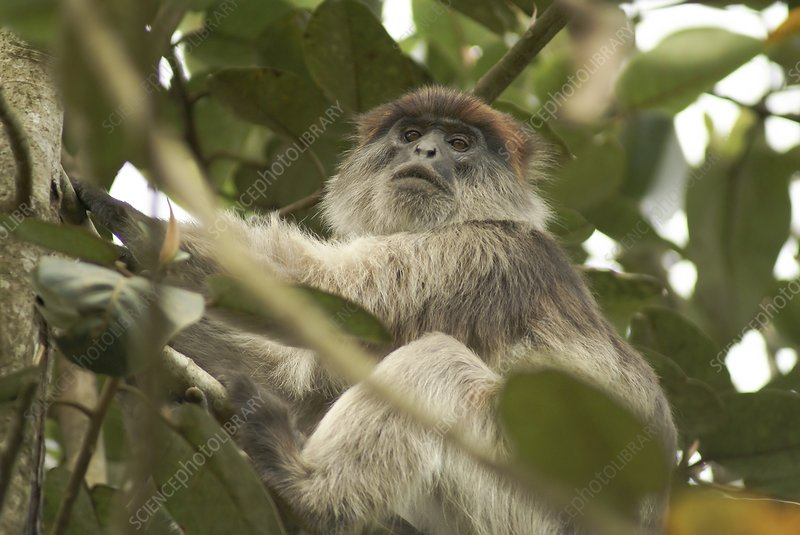 Ugandan red Colobus