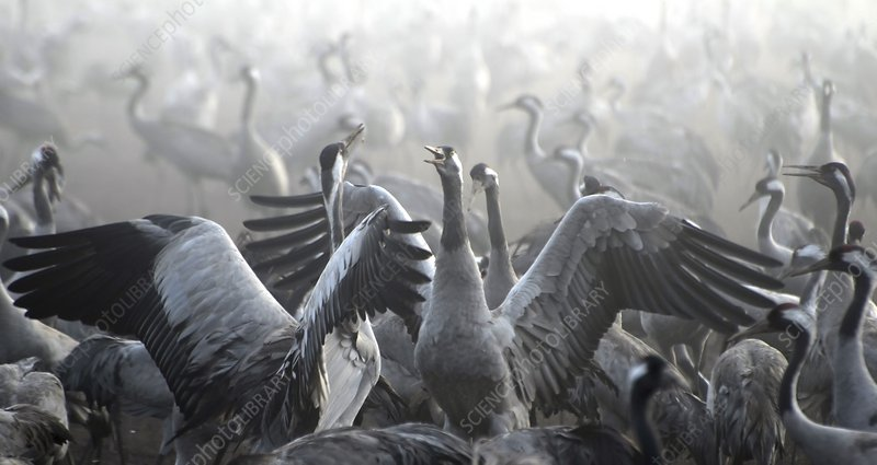 Flock of Common Crane (Grus grus)