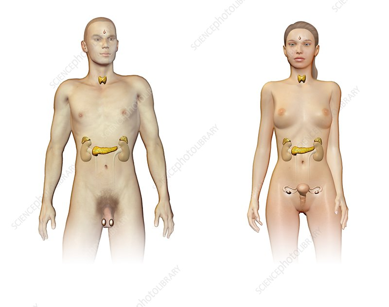 Male and female endocrine systems