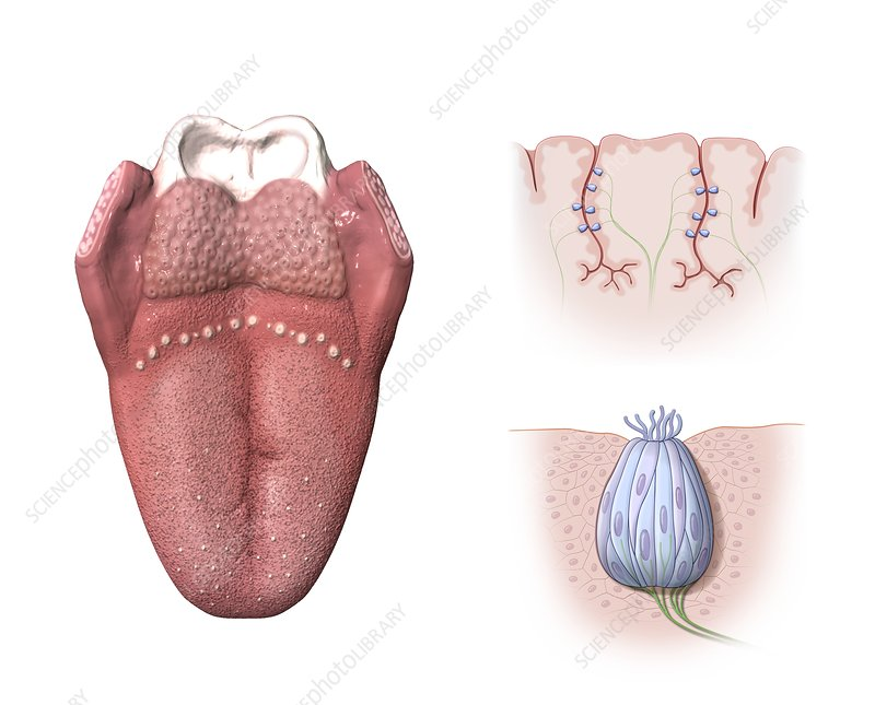 Tongue anatomy, artwork - Stock Image C015/4306 - Science Photo Library
