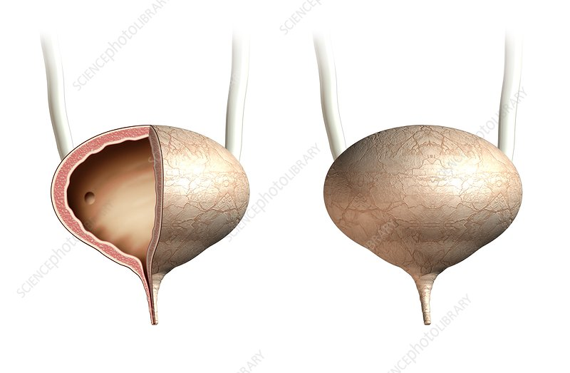 Female urinary bladder, artwork