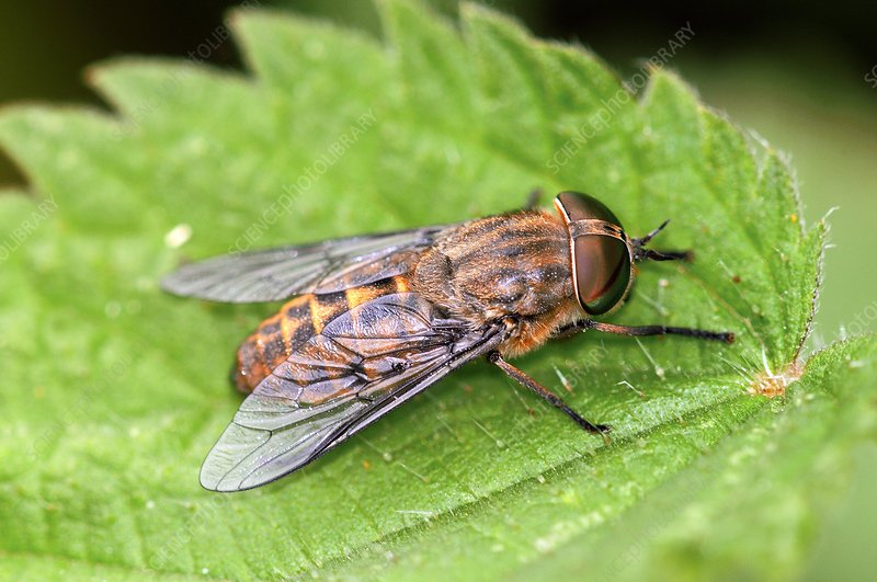 Band-eyed brown horsefly
