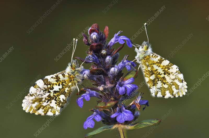 Orange-tip butterflies on bugle flowers