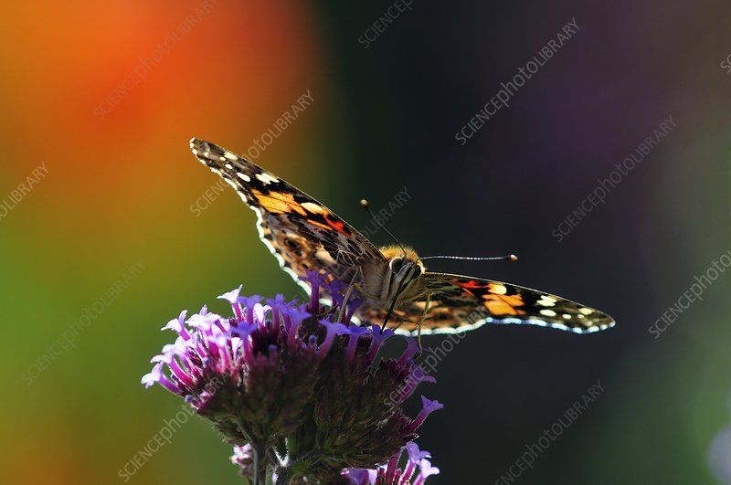 Painted lady butterfly on verbena flowers