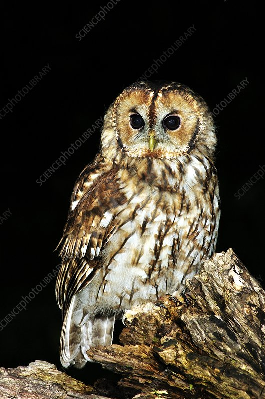 Tawny owl perched on a log at night