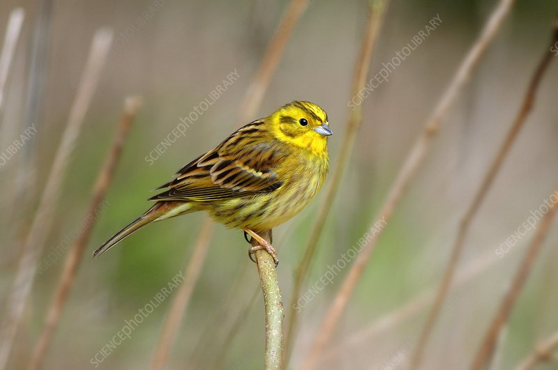 Yellowhammer perched on a plant