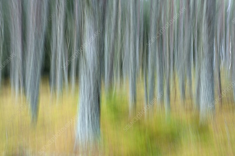 Pine forest, abstract image