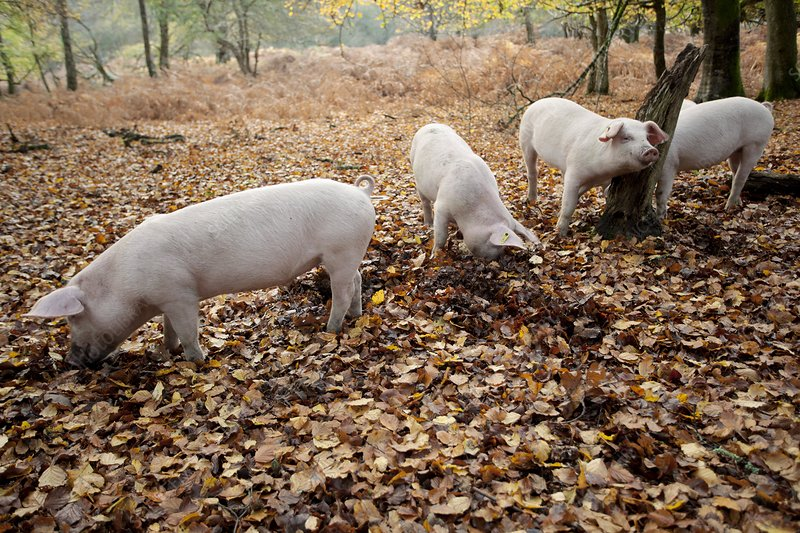 Domestic pigs foraging