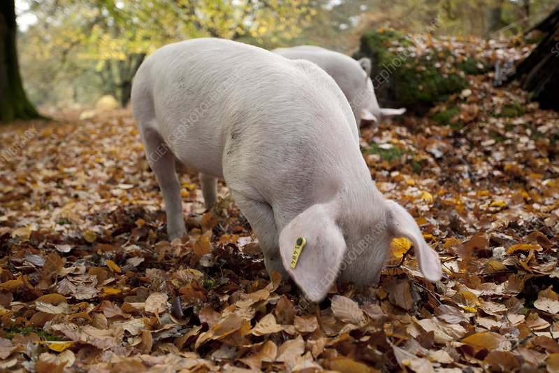 Domestic pig foraging