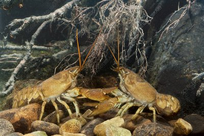 White-clawed crayfish sparring