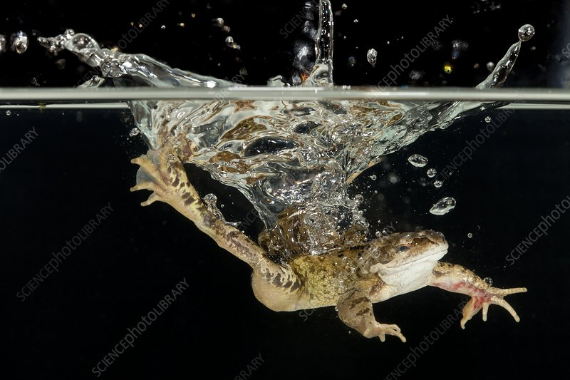 Common frog landing in water