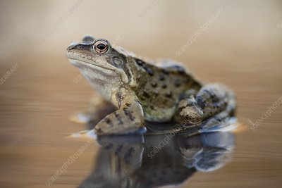 Common frog on a pond