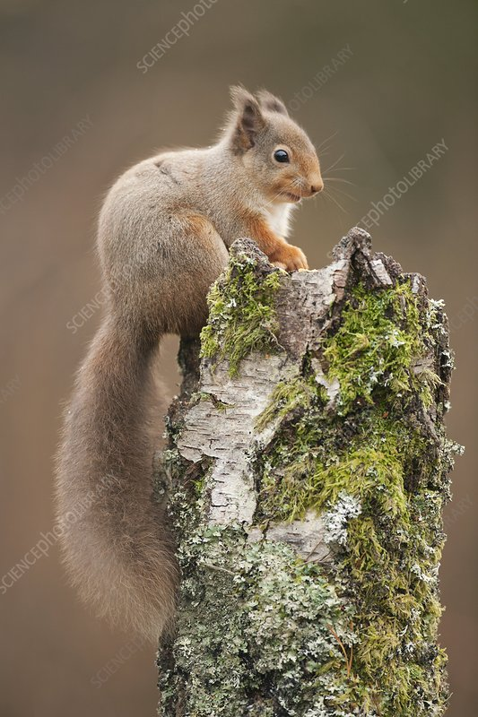 Red squirrel on a tree stump
