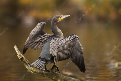 Great cormorant on a branch