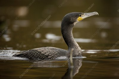 Great cormorant in a lake
