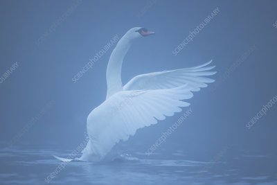 Mute swan beating on a misty lake