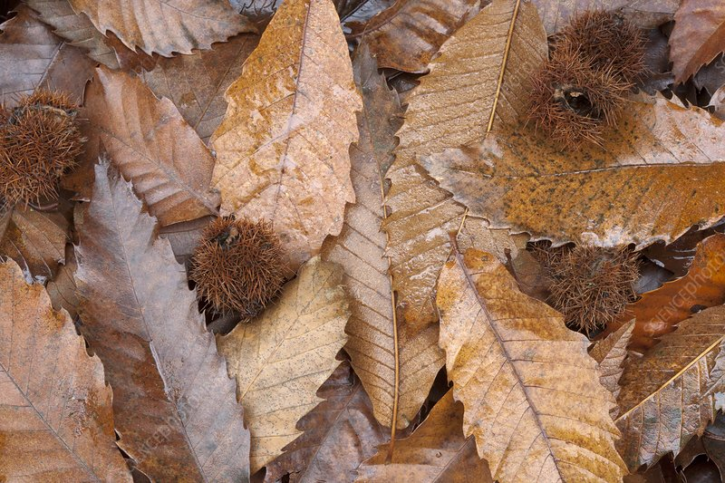 Sweet chestnut leaves and fruit