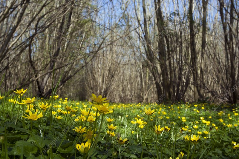 Lesser celandine in a coppice wood