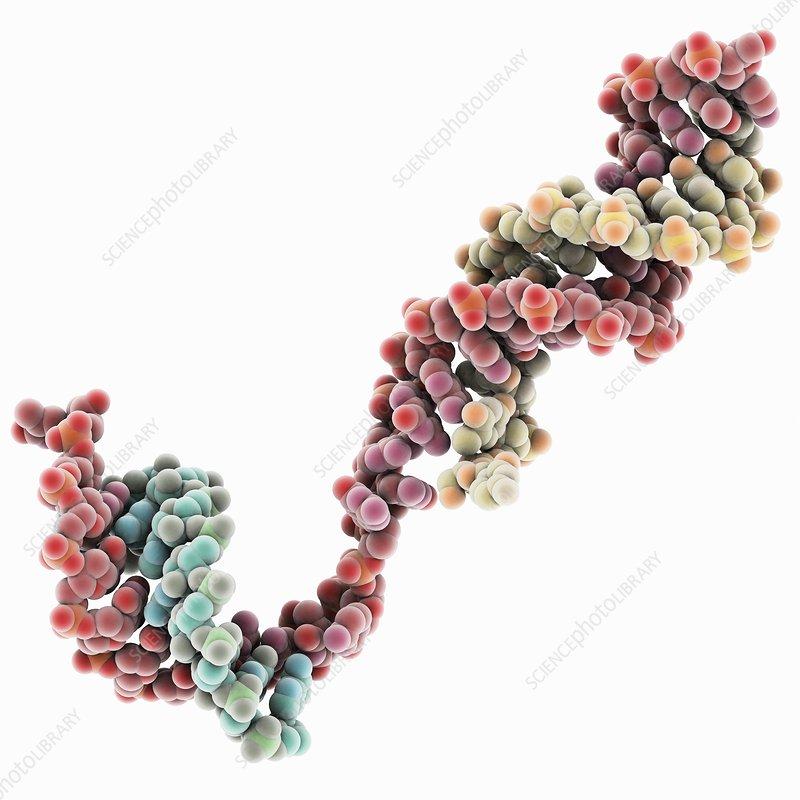 DNA transcription, molecular model