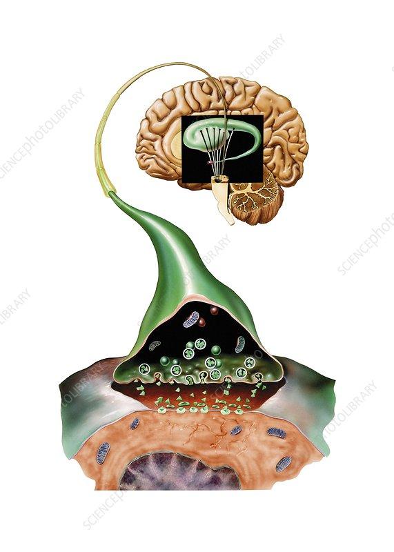 Brain synapse, anatomical artwork