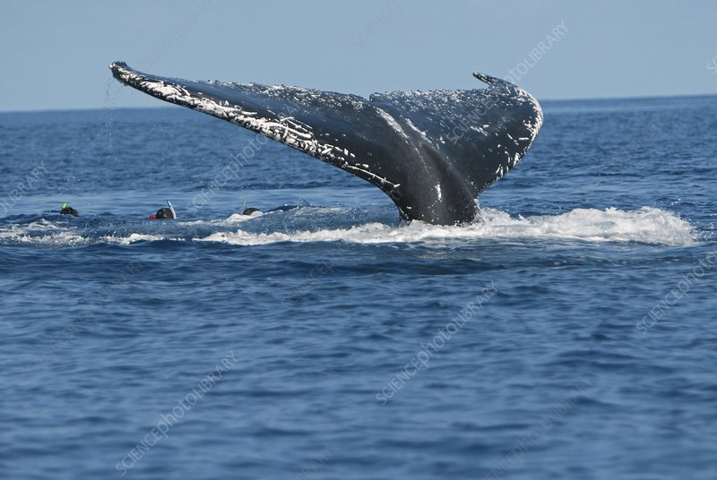 Swimming with whales, Reunion Island