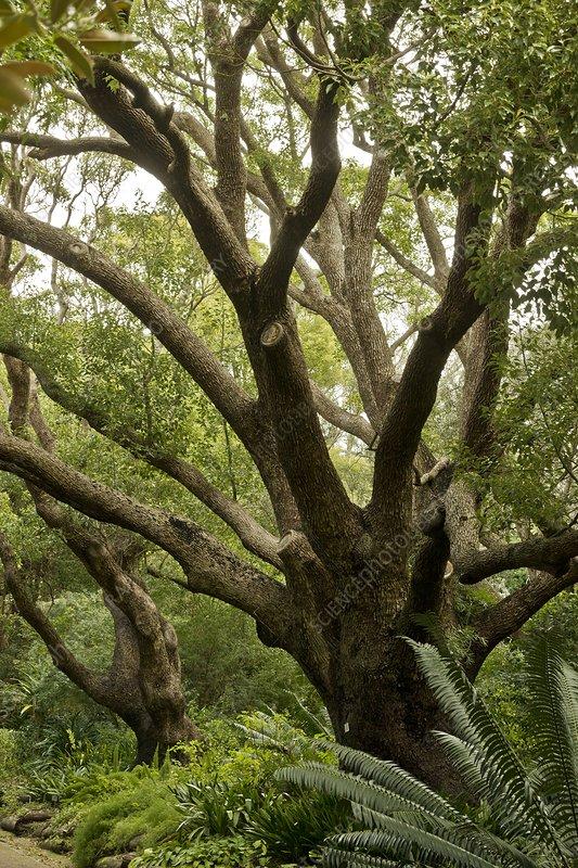 Camphor Laurel (Cinnamomum camphora)