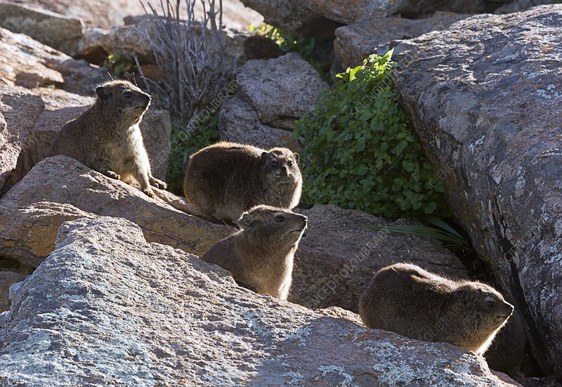 Rock hyrax family on rocks