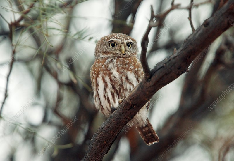 Pearl-spotted owlet in a tree