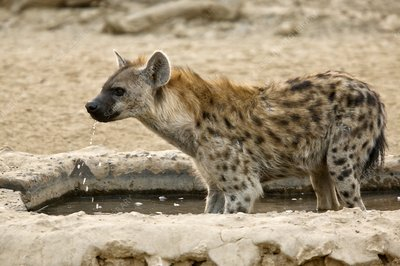 Spotted hyena drinking