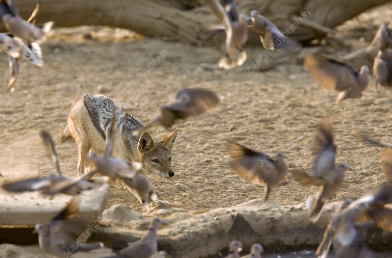 Black-backed jackal hunting doves