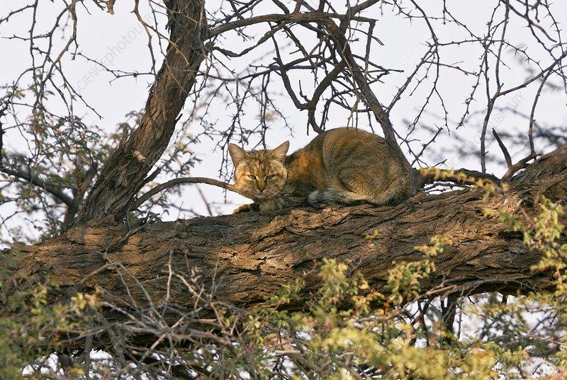 African wildcat in a tree