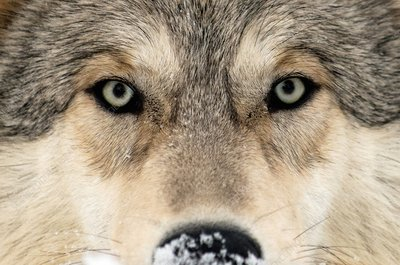 Gray wolf face