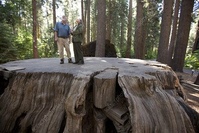 Giant sequoia tree stump