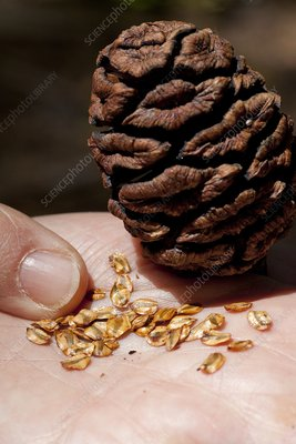 Giant sequoia seeds