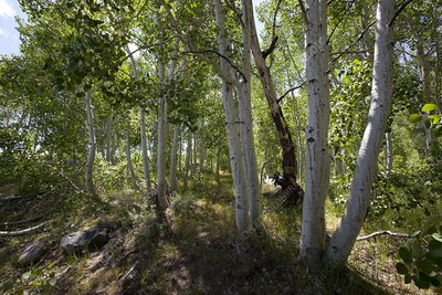 Common aspen forest