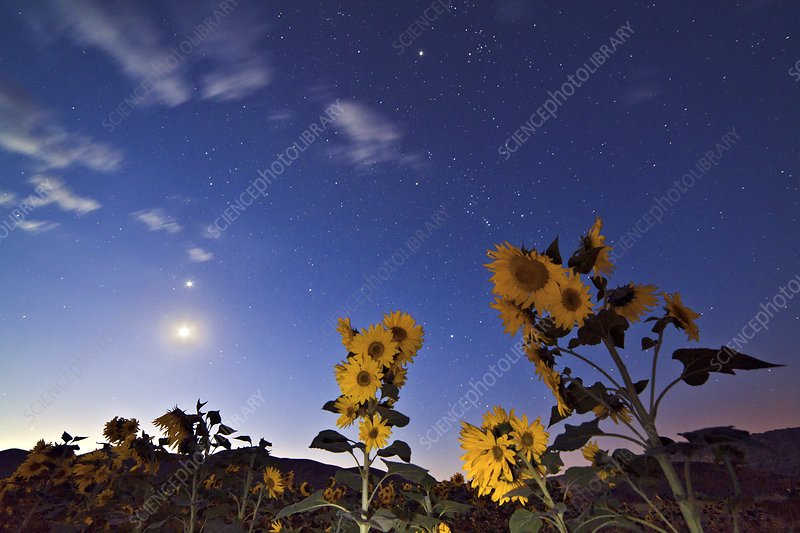 Sunflowers under stars at dawn