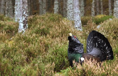 Male capercaillie displaying