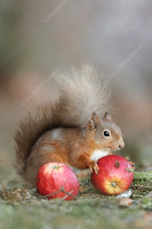 Red squirrel eating an apple