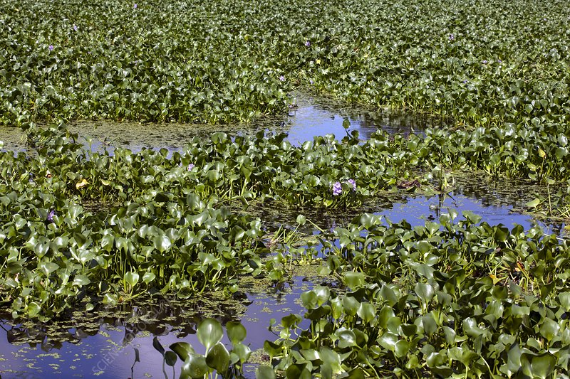 Water hyacinth wasterwater treatment