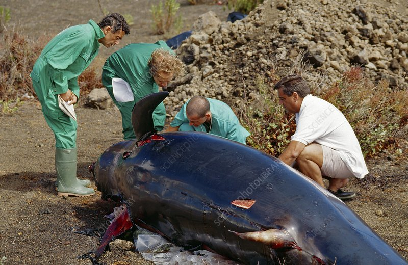 Whale autopsy