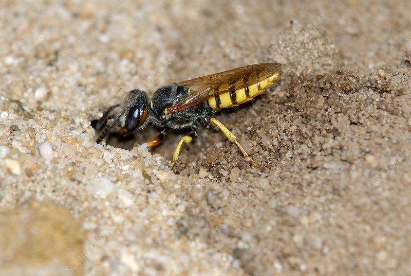 Bee-eating philanthus wasp